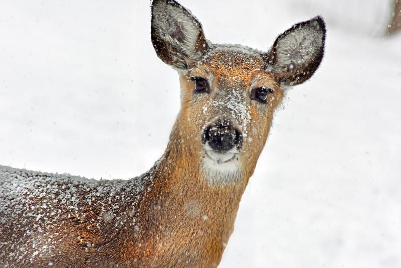 deer snow 022115_0665 8