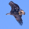In flight and headed off to find a place to eat the catch which can be seen tucked up with the talons.  The image of this bald eagle was captured on the Mississippi river near LeClaire, Iowa