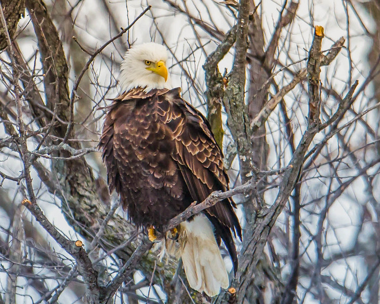 A majestic bird and our symbol of freedom strikes a pose.  This image captured on the Mississippi river near LeClaire, Iowa
