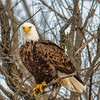 Preparing to fly and look for the next meal.  This image captured off the Mississippi river near LeClaire, Iowa