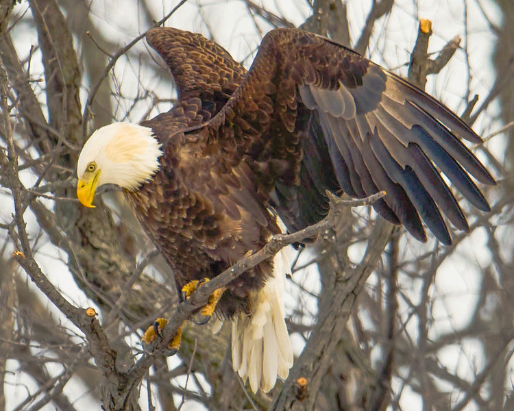 An adult eagle lands in a tree after finding off a meal of fish caught in the Mississippi River near LeClaire, Iowa