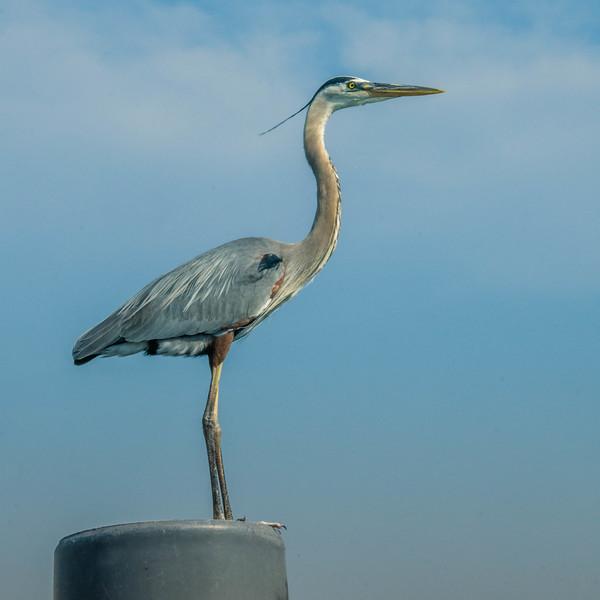 A Blue heron striking a pose for me in Destin, Florida