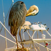 A Blue Heron scratching the itch at the piers where the fishing vessels bring in their daily catch in Destin, Florida