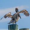 A Pelican basking in the afternoon sun at the fishing piers in Destin, Florida