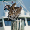 Seems like this pelican has also found an itch.  Near the fishing docks in Destin, Florida