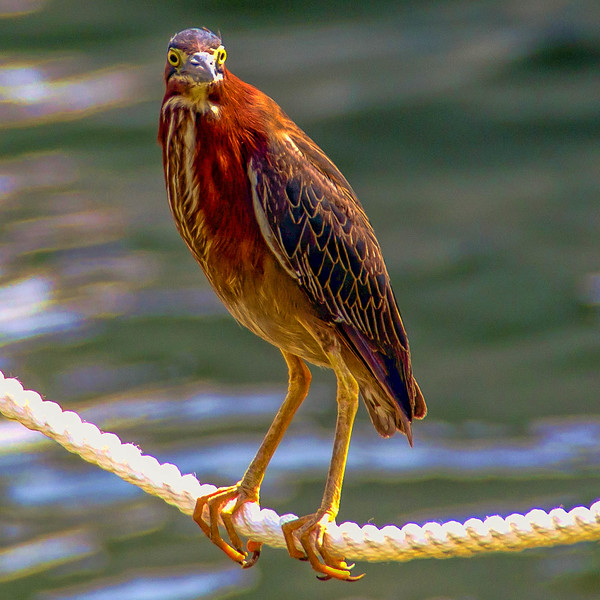 One of the many birds that can be found near the fishing piers in Destin, Florida