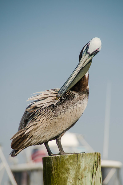 The pelican has finally noticed me and strikes a pose for the camera.  Destin, Florida