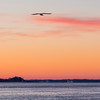 Seagull in flight as the sun rises over the Ohio river