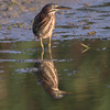 Just in case I missed the first time, Green Heron turns the other cheek for the photographer.