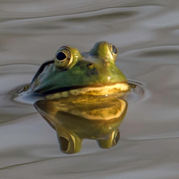 Mr Bullfrog