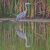 A Blue Heron drops by the pond for a cameo appearance.  This was the only shot of the day as he is soon spooked by joggers on a nearby trail.
