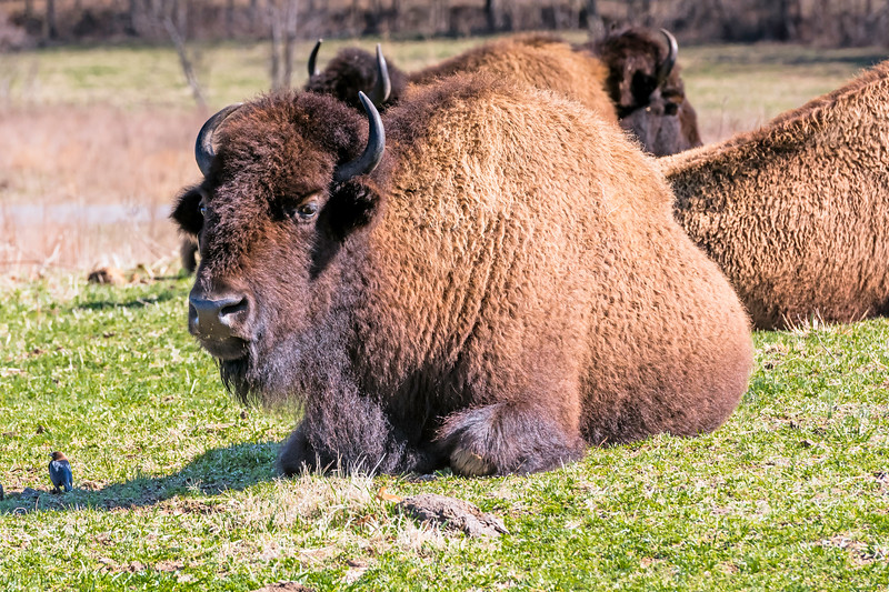 """A bison keeping a close eye on me as I venture a few steps outside the car.... Notice he has a """"little buddy"""" keeping a look out the other direction."""