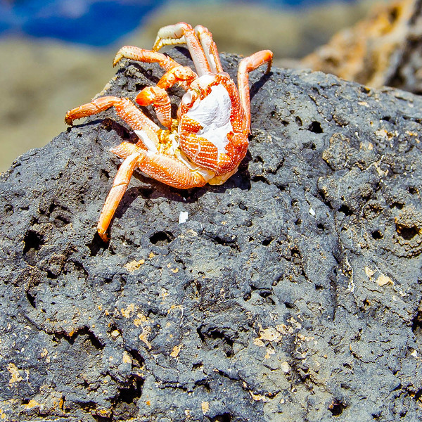 An abandoned crab shell, Oahu.
