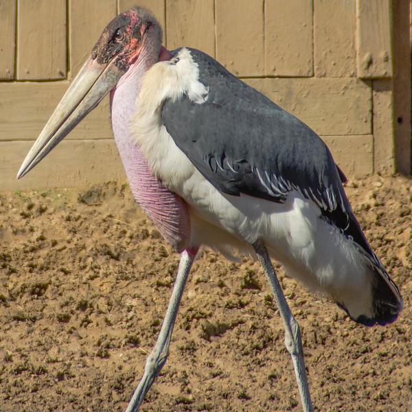 Wood Stork at the Houston Zoo.