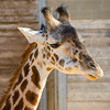 Young Giraffe at the Houston Zoo.