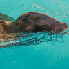 Sea Lion frolicking in the pool at the Houston Zoo.