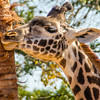 Giraffe at the Houston Zoo, scratching his face on the bark of a tree.