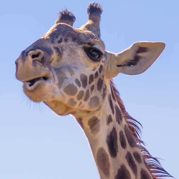 Adult Giraffe at the Houston Zoo.