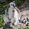 Ring Tailed Lemur at the Houston Zoo.