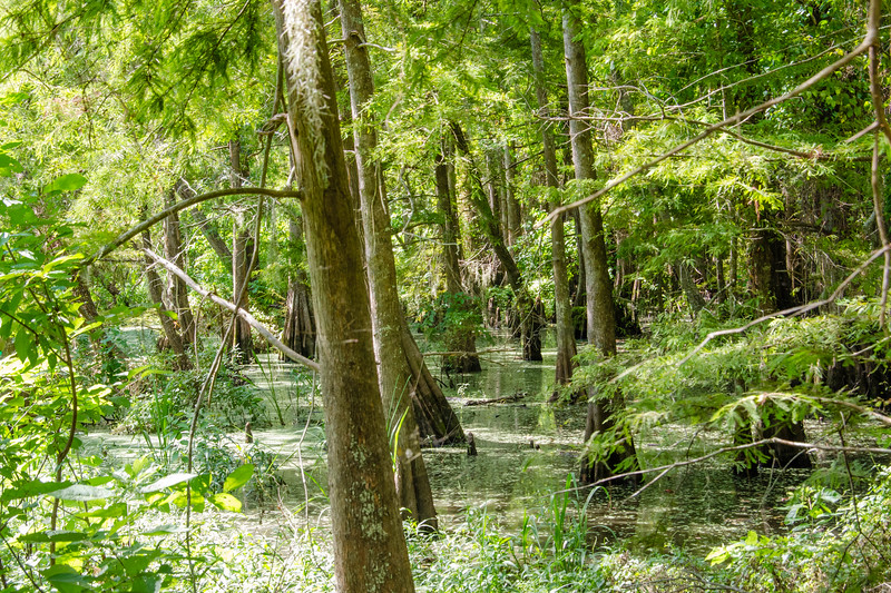 The swamp as viewed from the walking bridge at Auhuac National Wildlife Refuge, Texas.