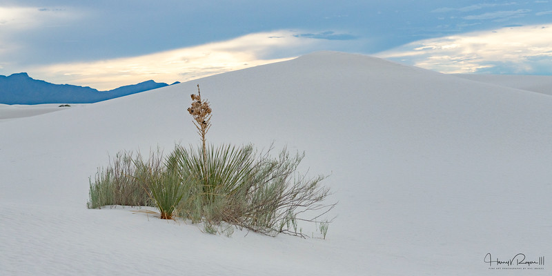 Yucca Before Sunset at White Sands