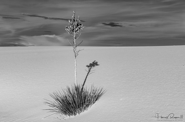 Earling Morning Light on the Yucca at White Sands