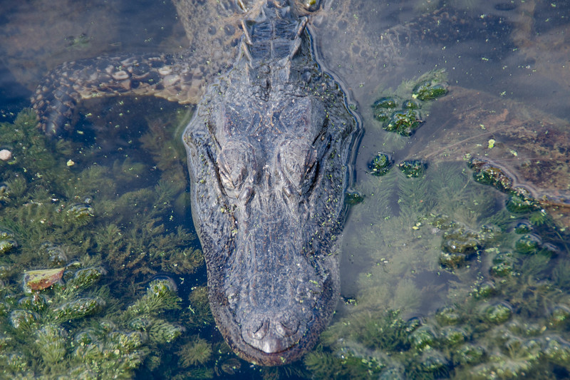 A young alligator cruising toward me as I stand on a dock from above.  This image captured at Brazos State Park, Texas<br /> <br /> This image is sized at 2x3