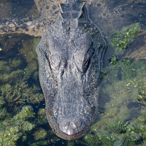 A young alligator cruising toward me as I stand on a dock from above.  This image captured at Brazos State Park, Texas<br /> <br /> This image is square and sized 1x1