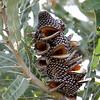 Native Plants - Western Australia 24
