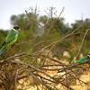 Parots - Western Australia 22