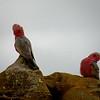 Cockatoos - Western Australia 19
