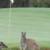 Kangaroo Golf - Western Australia 3