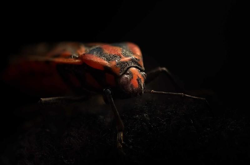 Equestris De Lygaeus - Insect