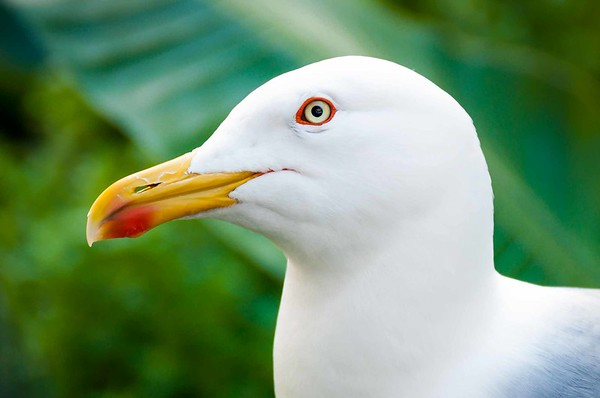 Seagull close-up - bird white