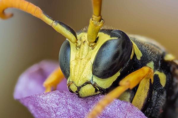 Wasp on phalaenopsis