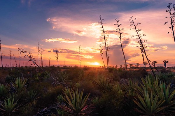 Sunset in an agave field