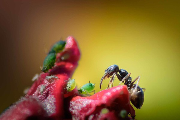 Ant on flower hibiscus with green aphids