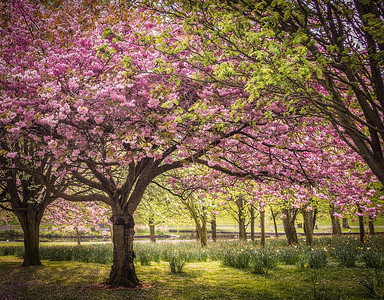 Cherry Blossoms at Ward Park, Bangor, Northern Ireland