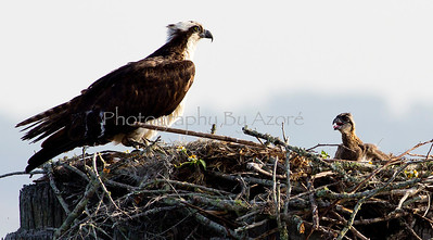 Osprey Bird And Babe