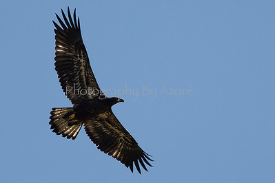 Juvenile Eagle High Flying