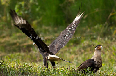 CaraCaara and Wings
