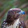 Red tail Hawk Side View
