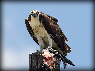 Osprey Half Eaten Lunch