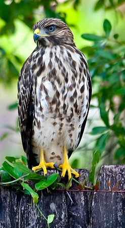 Yellow Feet
