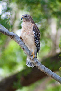 Hawk Perch