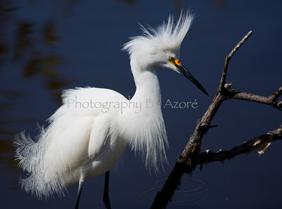 ~Birds~ Snowy Egret