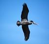 Gray Pelican