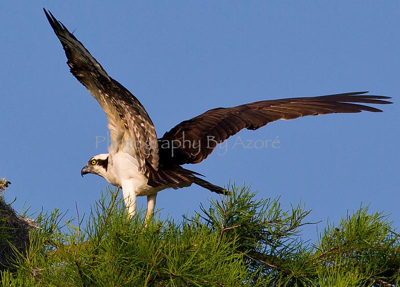 Osprey Just Landed.