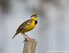 Yellow Medowlark