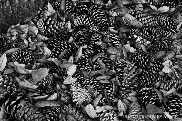 Pine Cone Gathering
